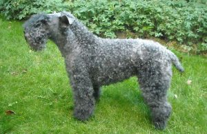 Kerry Wheaten Dog Breed Information All You Need To Know