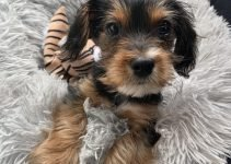 King Charles Yorkie Dog Breed Information – All You Need To Know