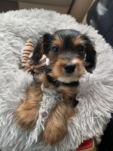 King Charles Yorkie Dog Breed Information All You Need To Know