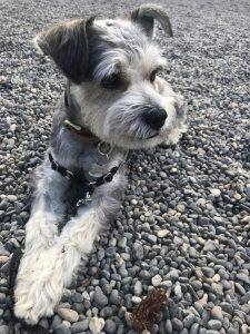 King Schnauzer Dog Breed Information All You Need To Know