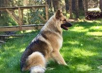 King Shepherd Dog Breed Information – All You Need To Know