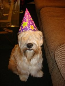 King Wheaten Dog Breed Information All You Need To Know