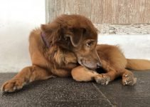 Kintamani Dog Breed Information – All You Need To Know