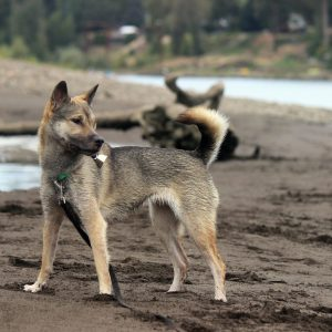 Kishu Ken Dog Breed Information All You Need To Know