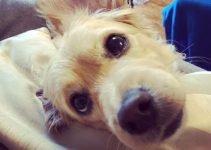 Kokoni Dog Breed Information – All You Need To Know