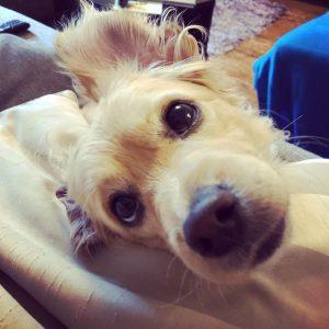 Kokoni Dog Breed Information All You Need To Know