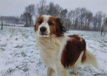 Kooikerhondje Dog Breed Information – All You Need To Know