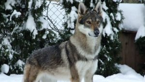 Kugsha Dog Breed Information All You Need To Know