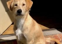 Lab'Aire Dog Breed Information – All You Need To Know