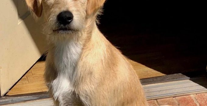 Lab'aire Dog Breed Information All You Need To Know