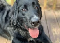 Labernese Dog Breed Information – All You Need To Know