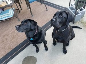 Labrador Corso Dog Breed Information All You Need To Know