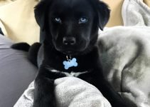Labrador Husky Dog Breed Information – All You Need To Know