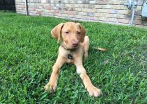 Labralas Dog Breed Information – All You Need To Know