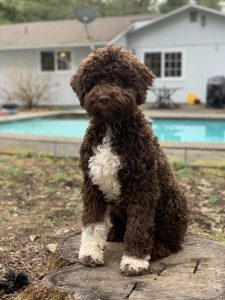 Lagotto Romagnolo Dog Breed Information – All You Need To Know