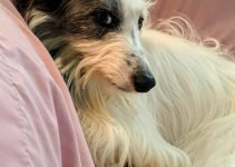Longhaired Whippet Dog Breed Information – All You Need To Know