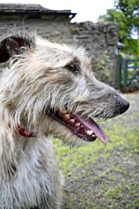 Lurcher Dog Breed Information – All You Need To Know