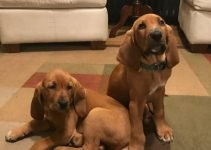 Majestic Tree Hound Dog Breed Information – All You Need To Know