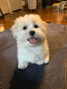Mal Shi Dog Breed Information All You Need To Know