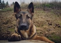 Malinois X Dog Breed Information – All You Need To Know