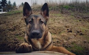 Malinois X Dog Breed Information All You Need To Know