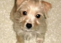 Malti-Pin Dog Breed Information – All You Need To Know