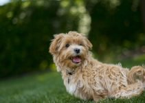 Malti-Poo Dog Breed Information – All You Need To Know