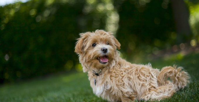 Malti Poo Dog Breed Information All You Need To Know