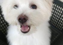 Maltipom Dog Breed Information – All You Need To Know