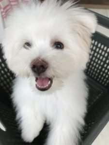 Maltipom Dog Breed Information All You Need To Know
