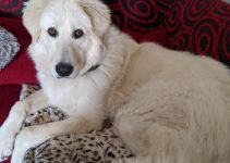 Maremma Sheepdog Dog Breed Information – All You Need To Know