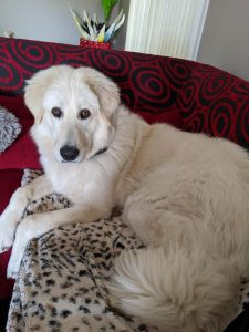 Maremma Sheepdog Dog Breed Information All You Need To Know