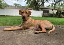 Mastapeake Dog Breed Information – All You Need To Know