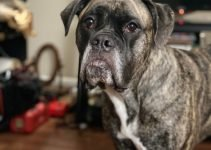 Masti-Bull Dog Breed Information – All You Need To Know