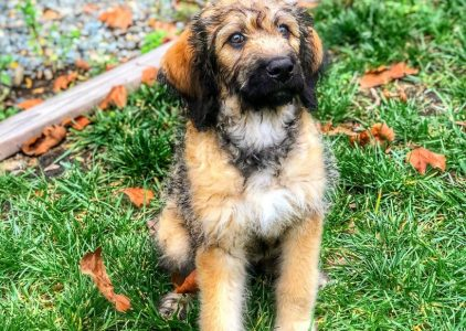 Mastidoodle Dog Breed Information All You Need To Know
