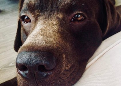 Mastino Napoletano Dog Breed Information All You Need To Know
