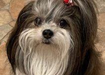 Mi-Ki Dog Breed Information – All You Need To Know