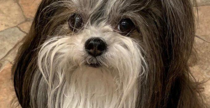Mi Ki Dog Breed Information All You Need To Know