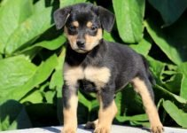 Min Pin Frise Dog Breed Information – All You Need To Know