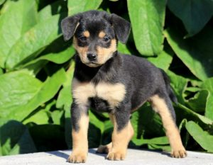 Min Pin Frise Dog Breed Information All You Need To Know