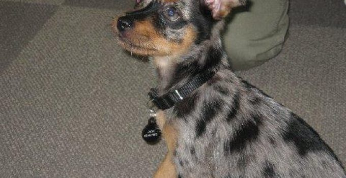 Mini Australian Shepterrier Dog Breed Information All You Need To Know