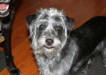 Mini Bolonauzer Dog Breed Information – All You Need To Know
