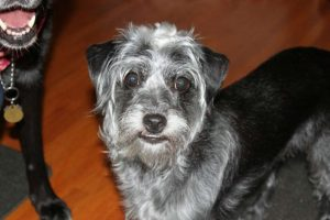 Mini Bolonauzer Dog Breed Information All You Need To Know