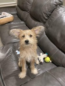 Mini Cairn Pin Dog Breed Information All You Need To Know
