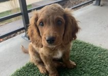 Mini English Cocker Dog Breed Information – All You Need To Know