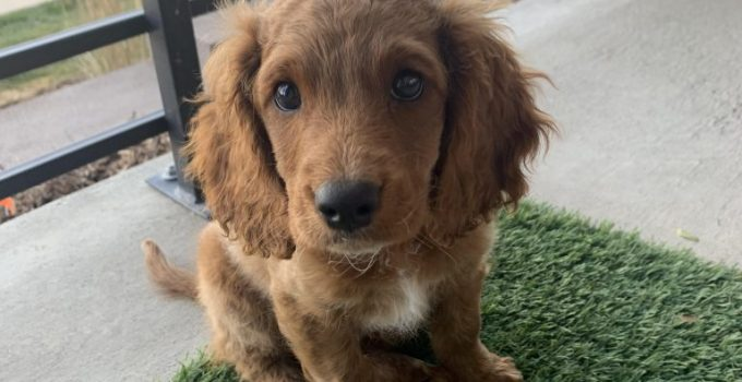 Mini English Cocker Dog Breed Information All You Need To Know