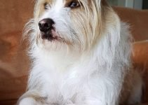 Mini Fo-Tzu Dog Breed Information – All You Need To Know