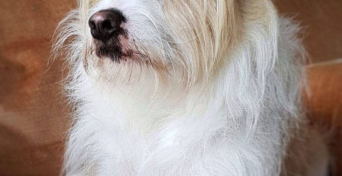 Mini Fo Tzu Dog Breed Information All You Need To Know