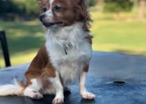 Mini Foxillon Dog Breed Information – All You Need To Know