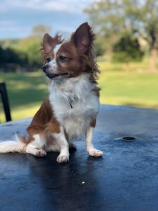 Mini Foxillon Dog Breed Information All You Need To Know